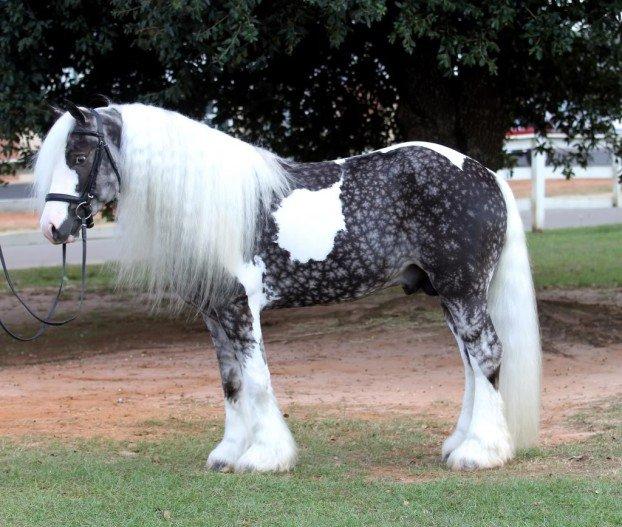 konj 6