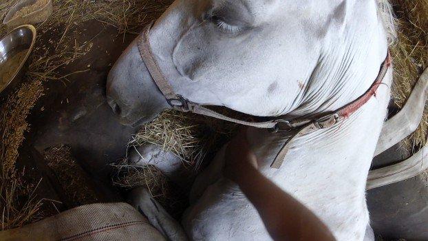 kobila-na-samrti
