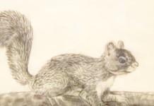slika vjeverice