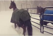 konji snijeg reakcija