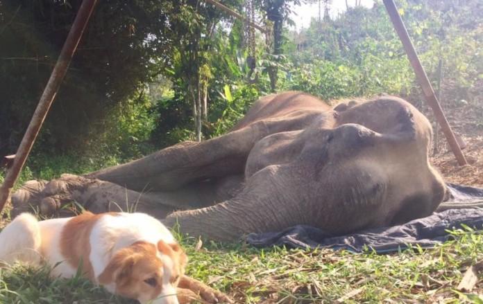 kujica slonica