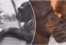 susret s čimpanzama