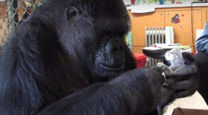gorila nije prestala plakati