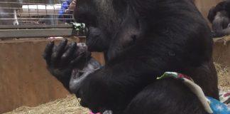 gorila rodila bebu