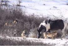 konj čopor vukova