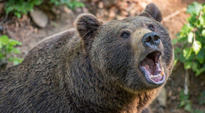 ateistu napao medvjed