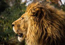 fotografije izgladnjelog lava
