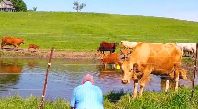 fotograf slikao krave