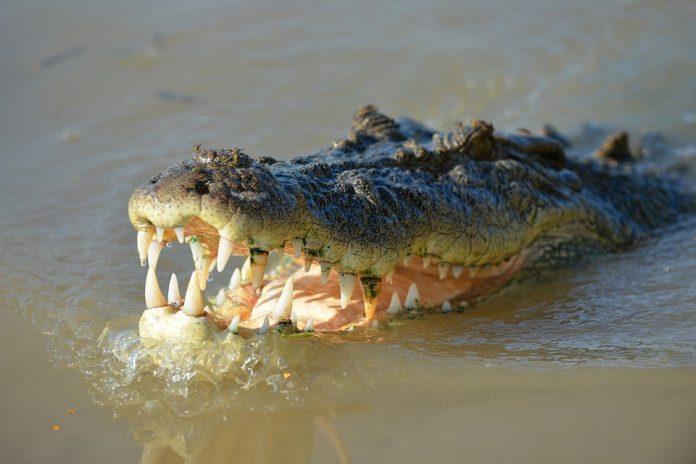 krokodil ubio pastora