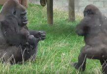 gorila beba stariji brat