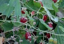 ljekovitost šumskih jagoda