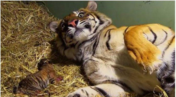 mali tigar prestao disati nakon rođenja