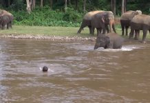 slonica vidjela čovjeka koji se utapa