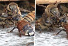 Pčele surađuju kako bi pomogle ranjenoj prijateljici