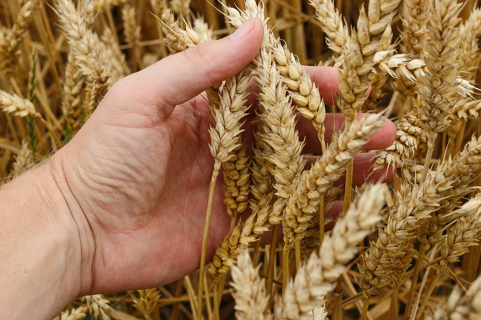Što je pšenica koju će Isus skupiti u svoju žitnicu?