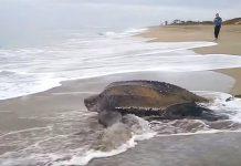 najveća kornjača na svijetu