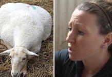 Veterinar je rekao da će ovca koja je nosila mlade umrijeti