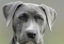 Psi mogu nanjušiti rak