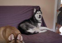 Ovaj pas može oponašati ljudski govor i izgovarati neke riječi