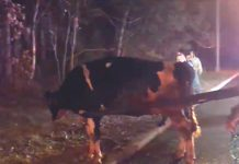 Krava je izbjegla klaonicu