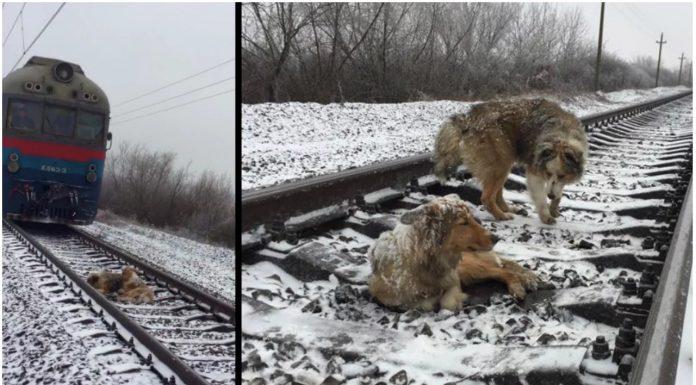 Odani pas proveo 2 dana štiteći svoju prijateljicu na hladnoj pruzi