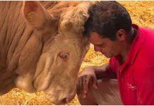 Zlostavljani bik je cijeli život proveo u lancima