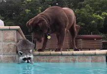Kada je rakun zakoračio u bazen, pas je napravio nešto zbog čega su mnogi ostali očarani