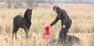Divlji konj poljubio veterinara koji ga je oslobodio