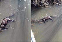 BiH: Konju vezali noge i bacili ga u rijeku