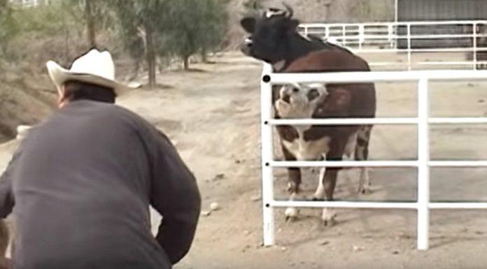 Krava nije mogla prestati plakati za svojom nestalom bebom kada je ugledala neobičan prizor kroz ogradu