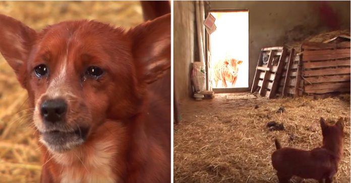 Obitelj je svjedočila nečem nevjerojatnom kada se njihov pas susreo s kravom