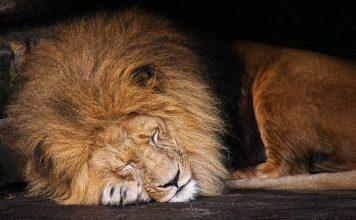 snimka ubojstva lava