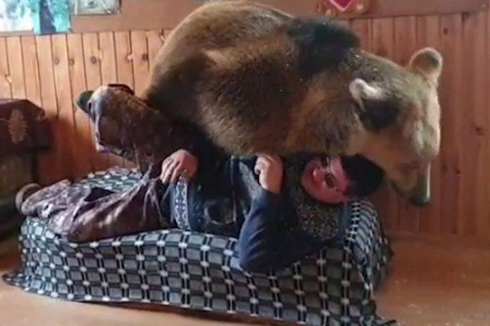 Veliki medvjed se bori s vlasnikom za mjesto na kauču