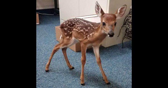 Žena spasila malog jelena koji je tugovao pored majčinog mrtvog tijela