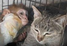 Mačka postala surogat majka napuštenoj bebi majmunu