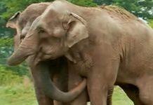 Slonovi su bili razdvojeni 20 godina, a onda su se ponovno sreli