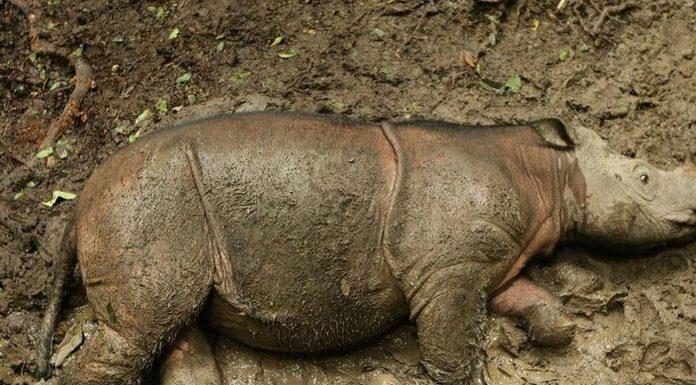 Posljednji mužjak sumatranskog nosoroga je uginuo
