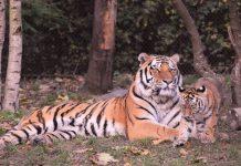 Tijekom vjerskih rituala ubijeno 11 tigrova u Indiji