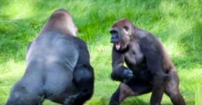 susret braća gorile