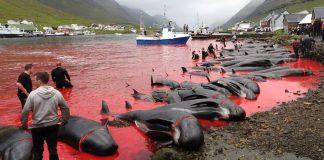 UŽAS: Na internetu objavili šokantne fotografije ubijanja kitova i dupina