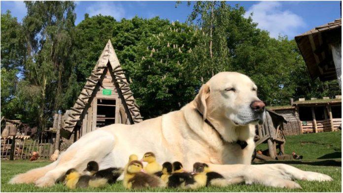 Labrador je prošle godine posvojio 9 pačiča, a sada je ponovno dirnuo svijet