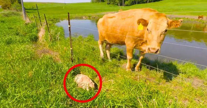 Tele je bilo u velikoj opasnosti, a ono što je krava učinila je uistinu nevjerojatno