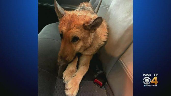 Oteti pas je prešao 3.200 kilometara, a onda se vratio svojim vlasnicima