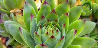 Ako imate cistu, ova biljka vam može pomoći da nestane