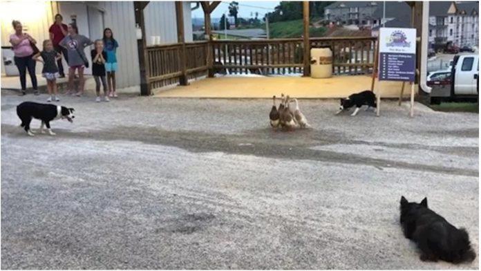 Psi su se okružili patke, a onda učinili nešto nevjerojatno