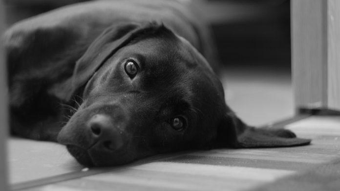 Psi mogu nanjušiti rak u vašem tijelu
