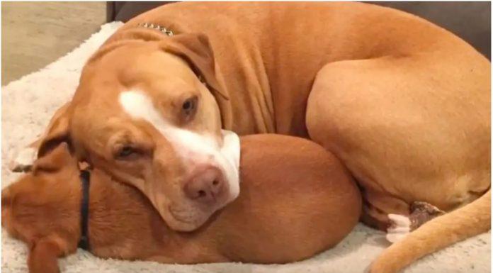 Pit bull ne želi napustiti azil za pse bez svog najboljeg prijatelja