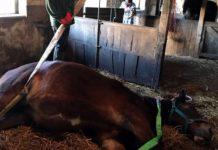 Kobila je umirala, a onda su pustili pastuha koji ju je čudesno oživio
