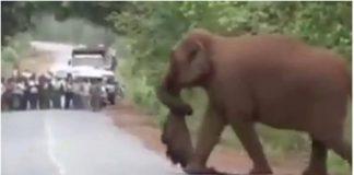 Slon je nosio mrtvo mladunče