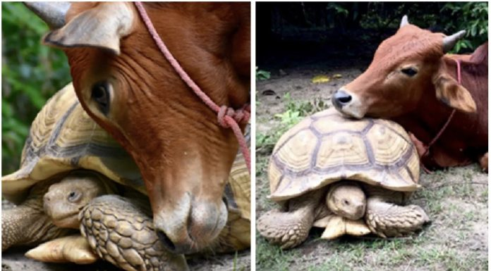 Divovska kornjača je upoznala tele bez noge